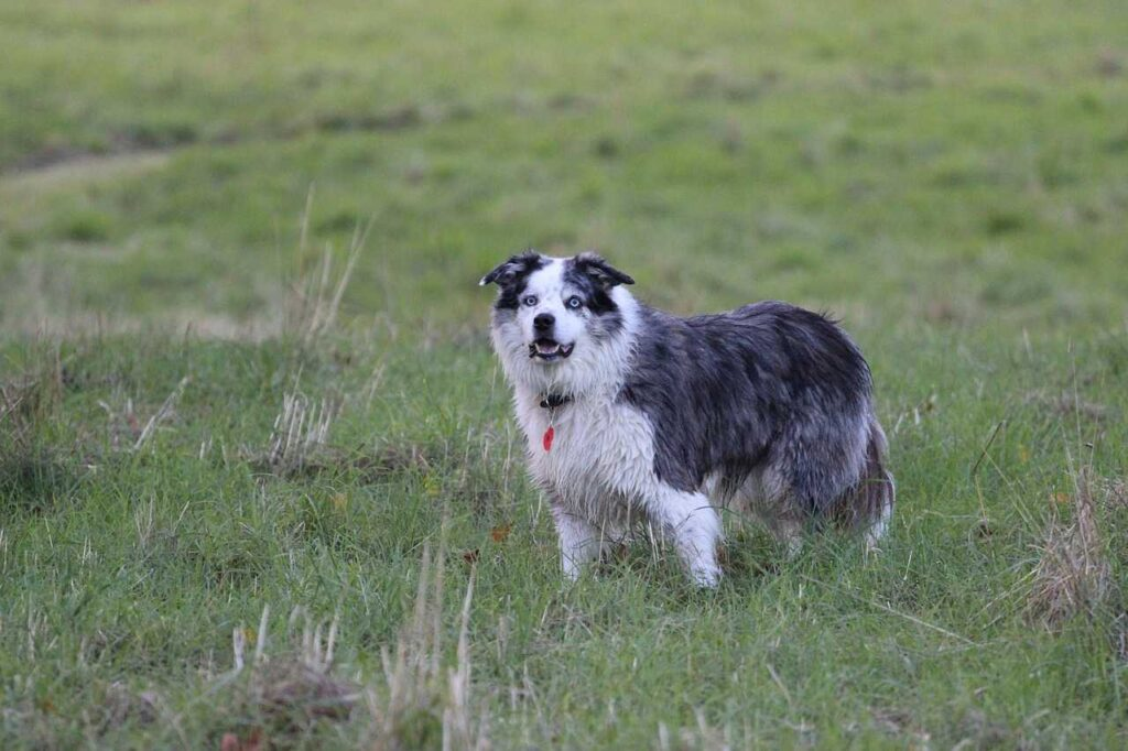 The Border Collie, types of dogs