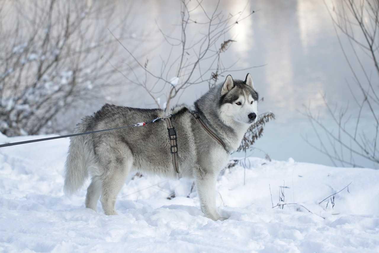 Sled Pet Dogs,husky