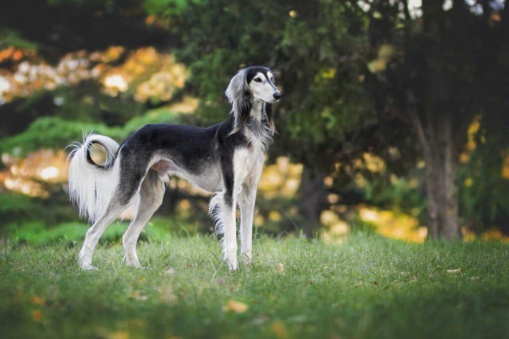 Fastest Dog-Greyhound