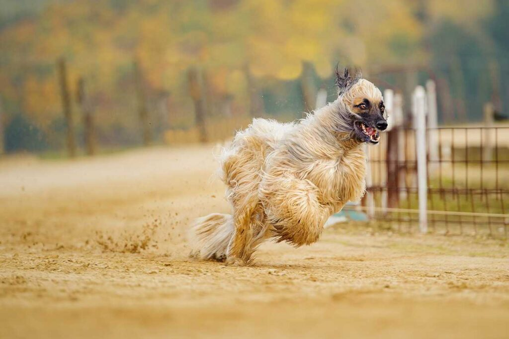 Afghan Dog,fastest dog
