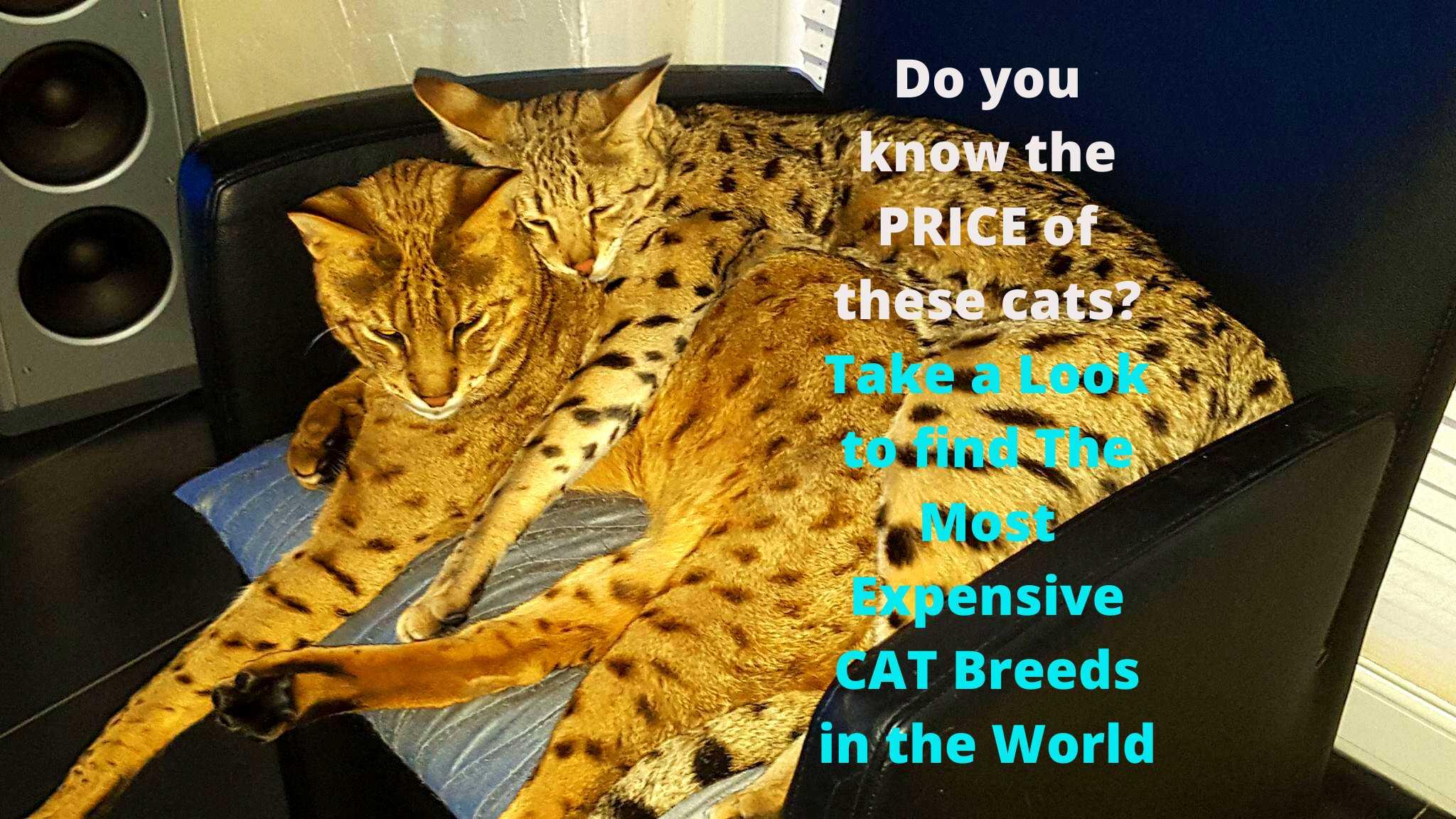 top expensive cat breeds