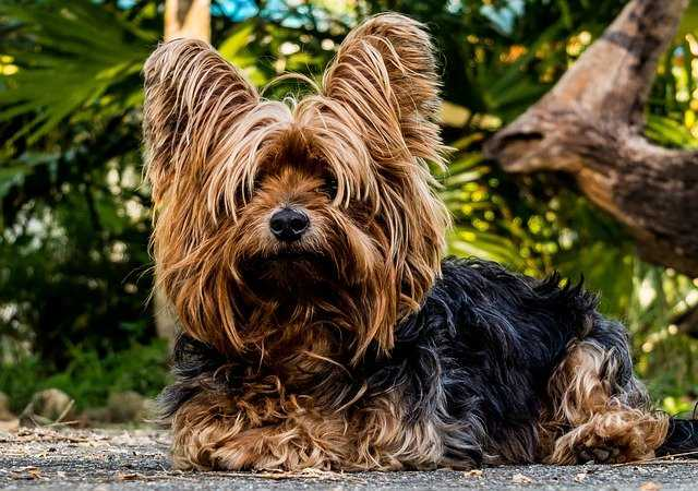 emtional dogs-Yorkshire Terrier