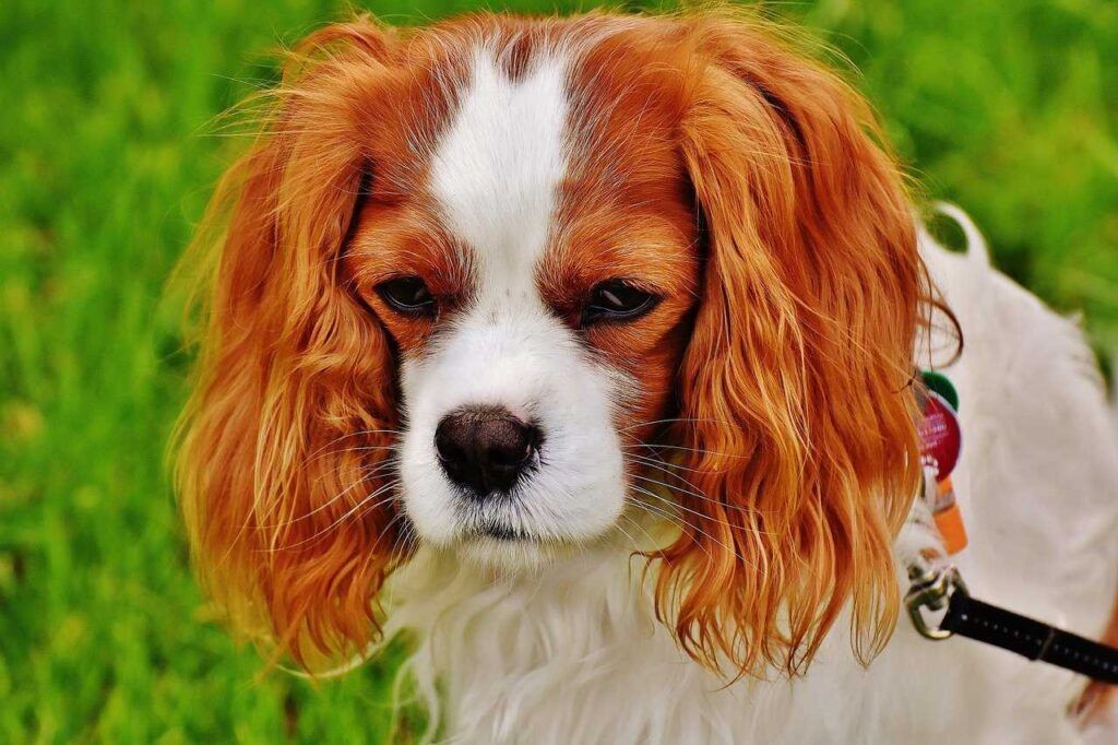 Cavalier King Charles, emtional dogs
