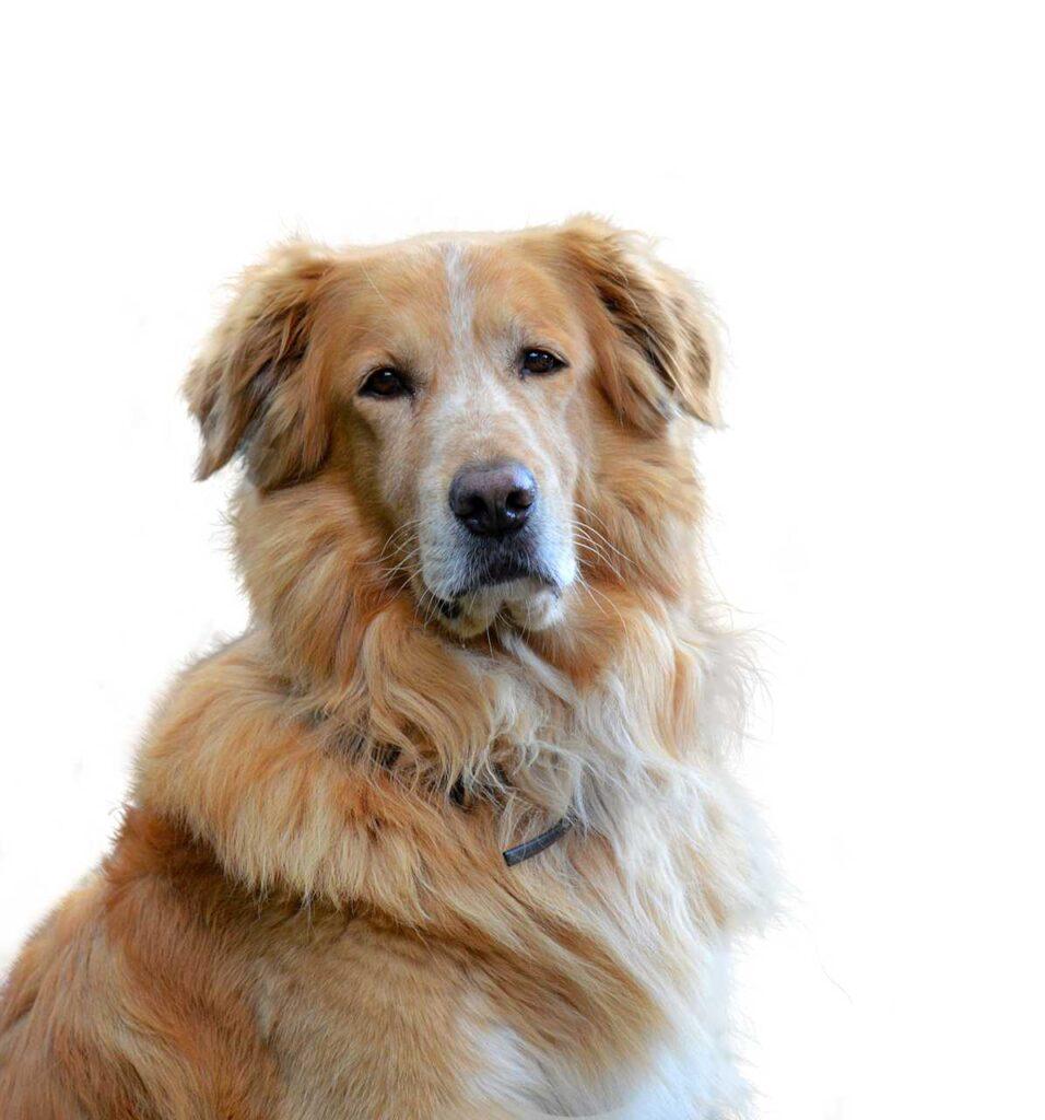 emtional dogs, golden retriever