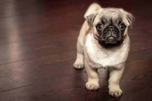 Emotional Dogs- pug
