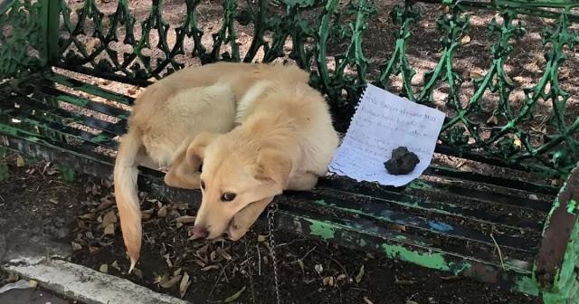 golden retriever - golden retriever puppy