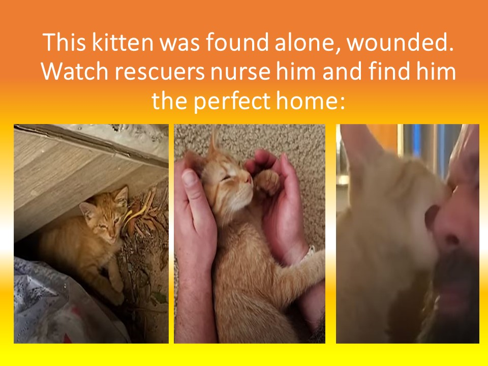 Cats for Adoption Near Me- Tiny Abandoned Kitten Finds New Family